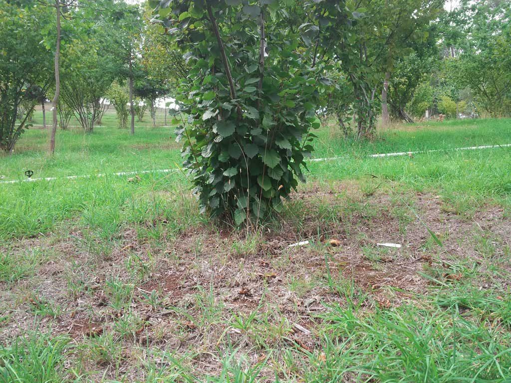 Hazel tree needs maintenance
